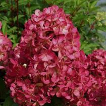 Bugás hortenzia 'Wim's Red' nagy méret