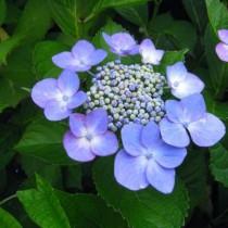 Fűrészeslevelű hortenzia 'Blue Bird'