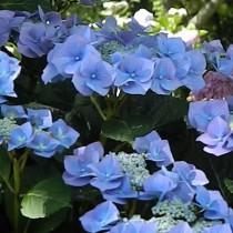Kerti hortenzia 'Blaumeise'