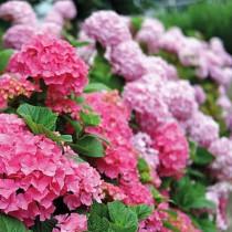 Kerti hortenzia 'Early Pink'