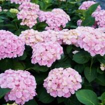 Duplaszirmú kerti hortenzia 'Love' nagy méret