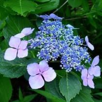 Kerti hortenzia 'Perfecta' kék vagy rózsaszín, nagy méret