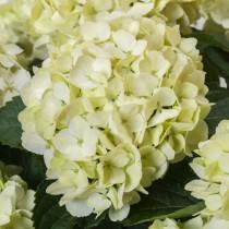 Kerti hortenzia 'Vanilla Sky' nagy méret