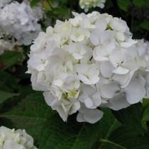 Kerti hortenzia 'White Butterfly'
