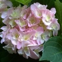 Duplaszirmú kerti hortenzia rózsaszín 'Eternity'
