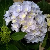 Duplaszirmú kerti hortenzia kék 'Forever'