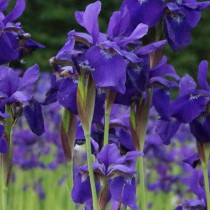 Kerti nőszirom - kék