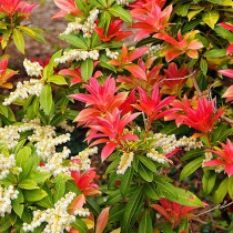 Japán babérhanga 'Forest Flame'