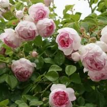 Rózsaszín futórózsa -'Jasmina' Kordes rózsa