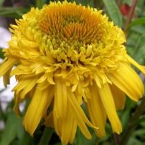 Kasvirág 'Meteor Yellow'
