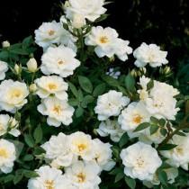 Krémfehér talajtakaró rózsa 'Kent Cover'