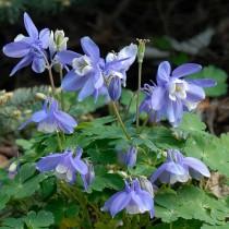 Kerti harangláb-kék, sarkantyús virággal