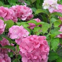 Kerti hortenzia 'Dolce Farfalle'