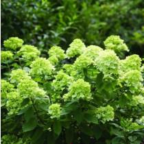 Bugás hortenzia 'Little Lime' (nagy méret)