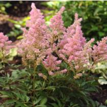 Kerti tollbuga rózsaszín 'Darwin's Dream'