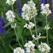 Levendula fehér virágú 'Ellagance Ice'