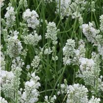 Levendula, fehér virágú - 'Nana Alba'