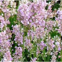 Lenendula liláskék 'Twin Pink' - nagy méret
