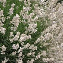 Levendula, fehér 'White Fragrance'