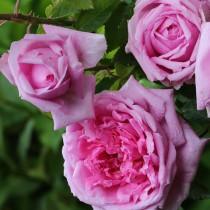 Rózsaszín történelmi rózsa - ' Madame Boll'
