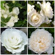 Modern kert - fehér rózsák 4 db