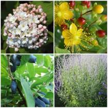 Modern kert - illatos cserjék1. 4 db