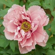 Fás bazsarózsa 'Dupla lazac-rózsaszín'