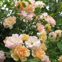 Rózsaszínű futórózsa - 'Phyllis Bide'