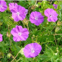 Gólyaorr, piros 'Vision Violet'