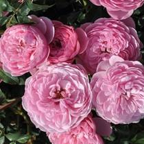 Rózsaszín romantikus törperózsa - Punch'