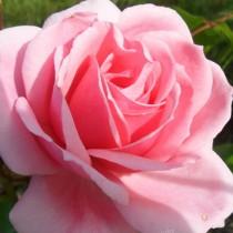 Rózsaszín ágyásrózsa - 'Regéc'