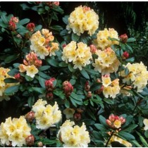 Rhododendron 'Monarch'