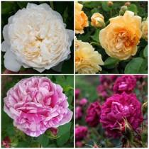 Romantikus kert - fehér-vegyes színű rózsák 4 db
