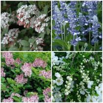 Romantikus kert - illatos cserjék 4 db