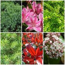 Romantikus kert - örökzöldek1. 6 db