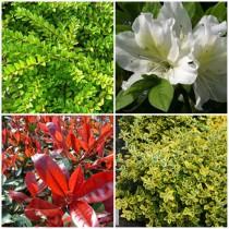 Romantikus kert - örökzöldek1. 4 db