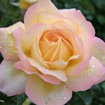 Sárga-rózsaszín tearózsa - 'Rose Aimeé'