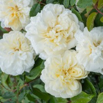 Fehér történelmi futó-kúszó rózsa - 'Alberic Barbier'