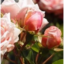 Narancssárga-rózsaszín történelmi kúszó rózsa - 'Albertine'