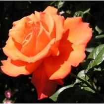 Narancsszínű tearózsa - 'Alexander'