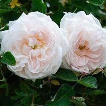 Krémfehér, történelmi rózsa - 'Annchen von Tharau'