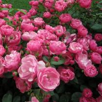 Rózsaszín parkrózsa - 'Angela'