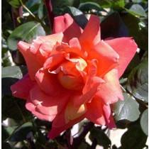 Rózsaszín tearózsa - 'Anne Marie Trechslin'
