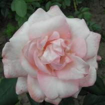 Sárga - rózsaszín bokor-rózsa - 'Apache'