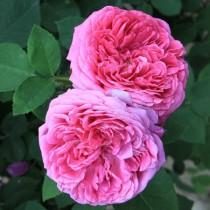 Vörös történelmi rózsa - 'Aurelia Liffa'
