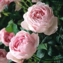 Rózsaszín, romantikus rózsa - 'Ausblush'