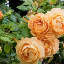 Mélysárga színű, romantikus rózsa - 'Ausgold'