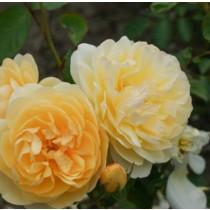 Sárga, romantikus bokor rózsa -  'Ausmas'