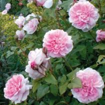 Világos rózsaszín, romantikus rózsa - 'Auswith'