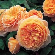 Barackrózsaszín, romantikus angol rózsa - 'Auswonder'